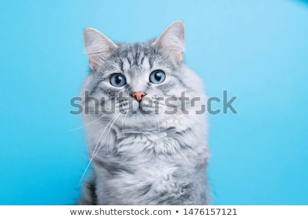 grijs · pussy · kat · portret · binnenshuis · kleur - stockfoto © simply