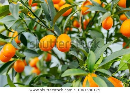 Wenig orange Früchte süß Blätter Essen Blatt Stock foto © designsstock