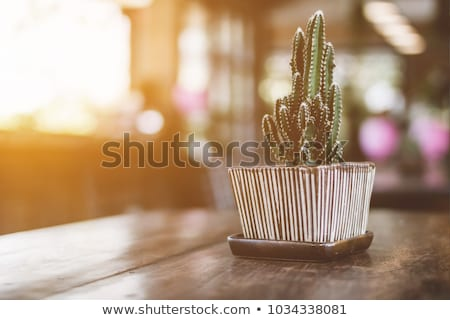 Cactus in Early Morning Light Stock photo © jkraft5