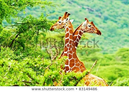 two giraffes and trees stock photo © mariephoto