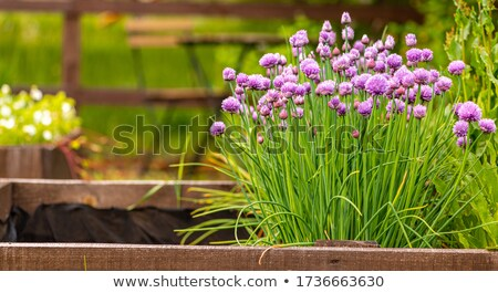 Chives in the garden Stock photo © Elenarts