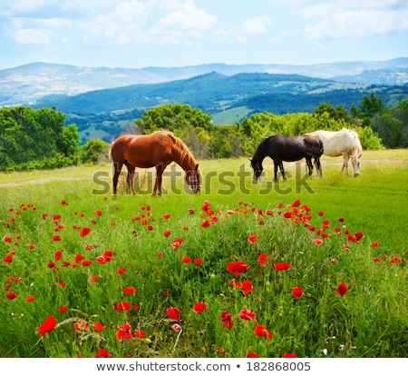 horses graze in a poppy field stock photo © justinb