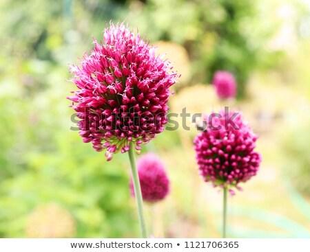 lila · közelkép · virág · ki · fókusz · fű - stock fotó © ruthblack