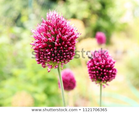drumstick allium bud stock photo © ruthblack