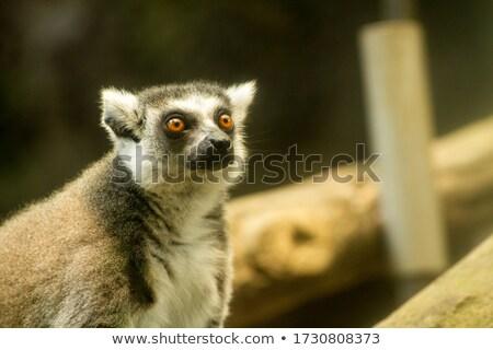 babuíno · cara · cabelo · fundo · macaco · parque - foto stock © TanArt