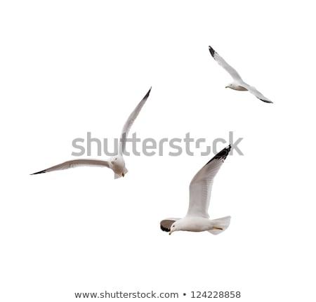 flying larus stock photo © ivonnewierink