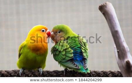 黄色 緑 鳥 孤立した クローズアップ 眼 ストックフォト © stocker