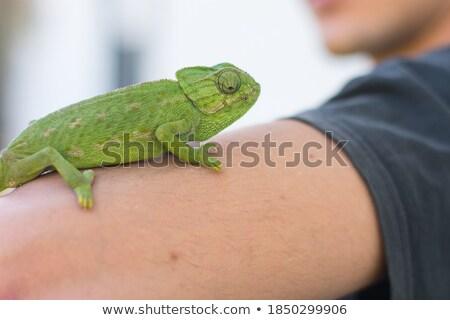 Foto stock: Camaleão · braço · azul · fundo · verde · boca