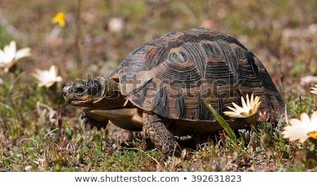 Teknősbéka sétál lefelé kavicsút zöld fák Stock fotó © ottoduplessis