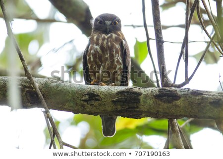 brown hawk on a branch stock photo © ottoduplessis
