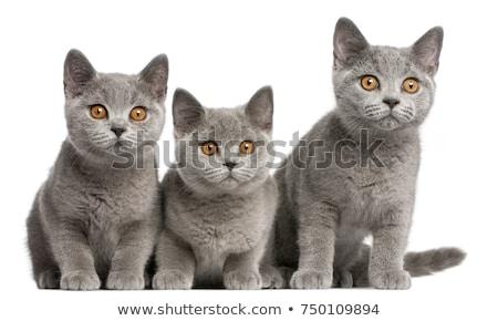 英国の · ショートヘア · 猫 · カットアウト · 孤立した · 黒 - ストックフォト © suljo