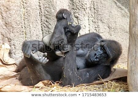 goril · büyük · yeme · kendi · hayvan · erkek - stok fotoğraf © tilo