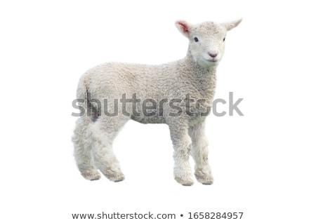 Jonge witte schapen foto groene park Stockfoto © Dermot68