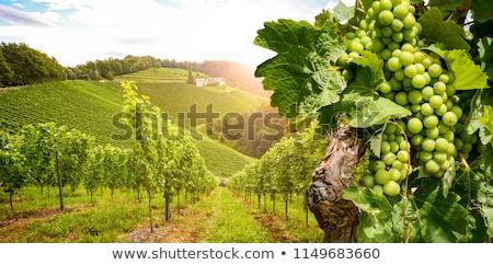 Groene wijngaard foto natuur landschap Stockfoto © Dermot68