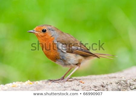 красный груди профиль мнение трава птица Сток-фото © rekemp