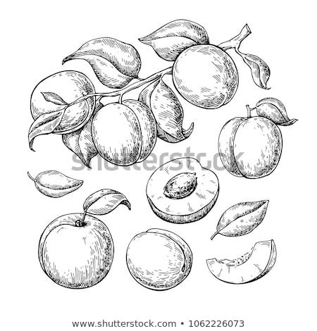 Vector of organic apricot. Stock photo © Morphart