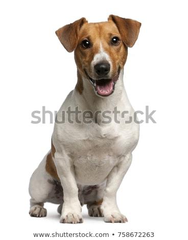 Cute Jack Russell Terrier weiß Studio nachschlagen öffnen Stock foto © bezikus