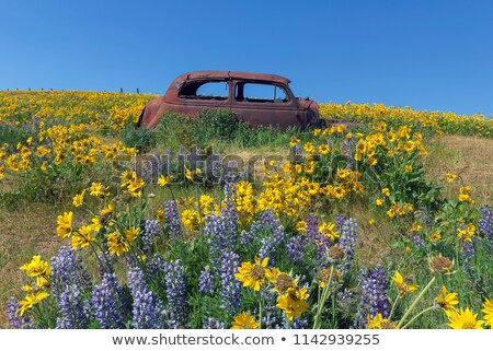 Abandoned Old Car Among Wildflowers in Spring Stock photo © davidgn