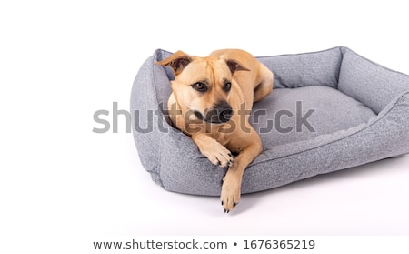 Small dog lying on sofa Stock photo © simply