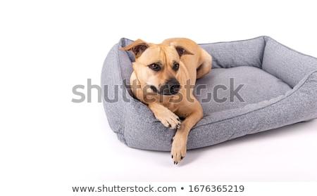 Small dog lying on sofa Stock photo © simply