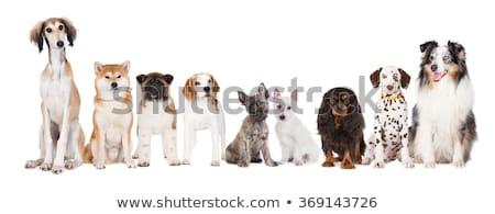 Puppy saluki portrait in white studio Stock photo © vauvau