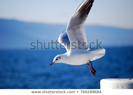 Seagull takes off from the sea. Stock photo © justinb