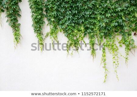 Sarmaşık kapalı duvar soyut dizayn yaprak Stok fotoğraf © gsermek