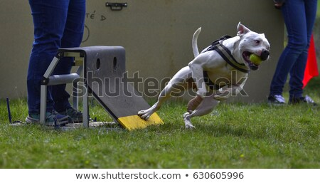 Bull terrier rottweiler blanche chien animaux Photo stock © cynoclub