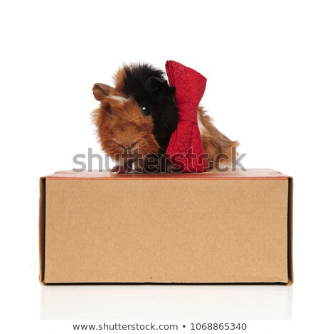 stylish guinea pig with red bowtie siting on wooden box Stock photo © feedough