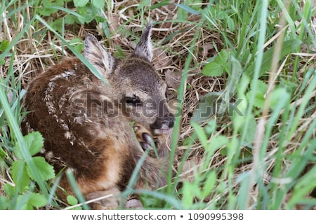 little deer in the grass capreolus capreolus wildlife scene from nature stock photo © virgin