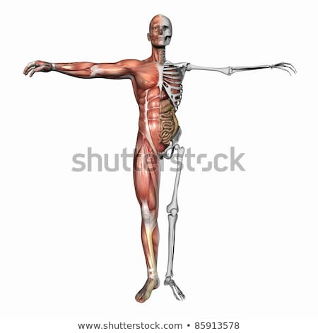 anatomical overlays   male torso with organs stock photo © aliencat
