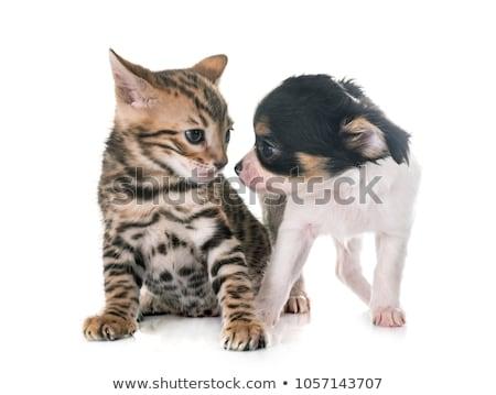 котенка · щенков · кошки · серебро · играет - Сток-фото © cynoclub