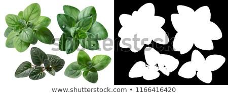 Origano fresche foglie diverso foglia greco Foto d'archivio © maxsol7