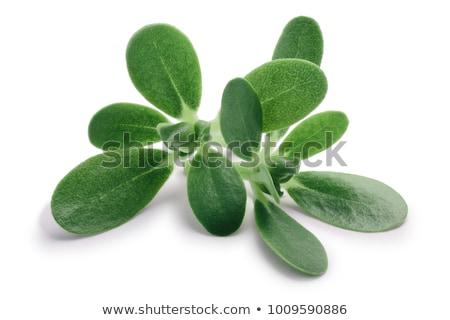 Bladeren schaduw voedsel plant kruid geïsoleerd Stockfoto © maxsol7