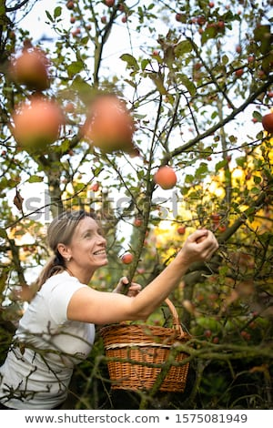 Middle aged woman picking apples in her orchard  Stock photo © lightpoet