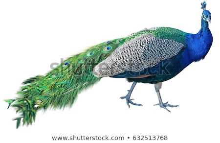Paon image heureux plumes couleur animaux Photo stock © clairev