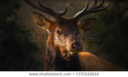 Jeleń · lasu · charakter · przyrody · mężczyzna - zdjęcia stock © andreasberheide