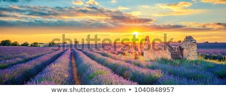 Francês campo de lavanda verde floresta paisagem Foto stock © karandaev