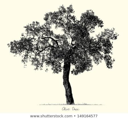 Agrícola oliveira ramo vintage vetor folhas Foto stock © pikepicture