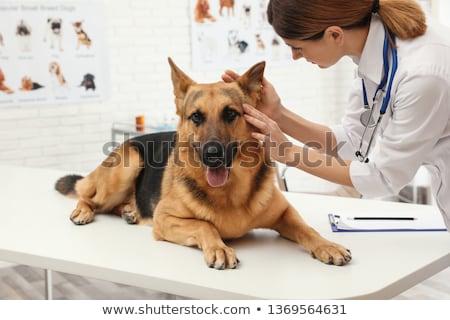 Female veterinarian examining ear a dog Stock photo © Kzenon