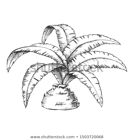 Low Bottle Palm Tropical Tree Monochrome Vector Stock photo © pikepicture