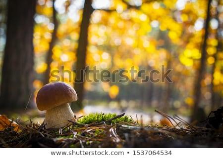 nice porcini mushroom in sunny forest Stock photo © romvo