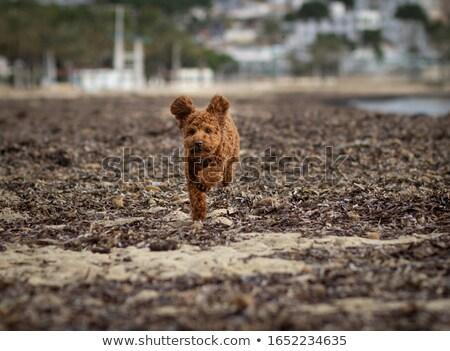 Barna uszkár kutya fut tart labda Stock fotó © raywoo