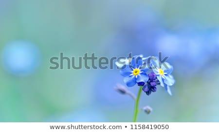 Сток-фото: мне · не · цветок · саду · синий