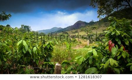 Cacau plantação árvore folha jardim verde Foto stock © leeser