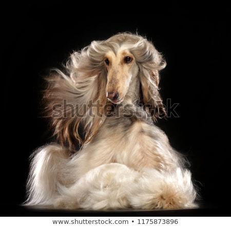 Beyaz kıllı köpek yaratıcı dizayn gün Stok fotoğraf © indiwarm