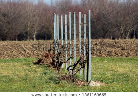 vine rows on a sunny day Stock photo © 3523studio