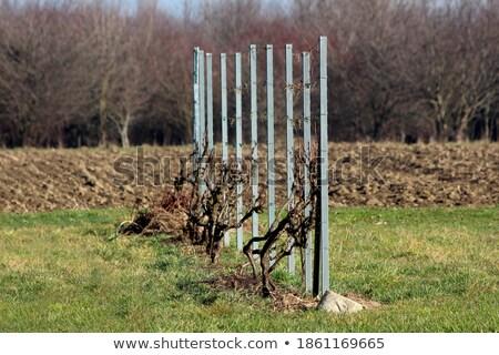 fruto · enforcamento · videira · verde · folhas - foto stock © 3523studio