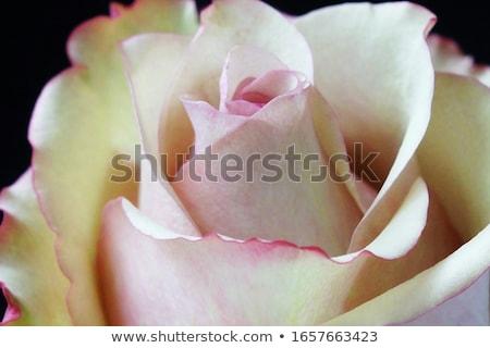 макроса · влажный · хризантема · бутон · сливочный - Сток-фото © arsgera