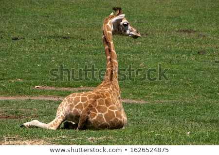 baringo giraffe Stock photo © sirylok